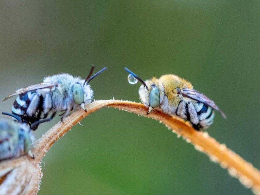 Photo by Eva Boogaard - Close up image native bees