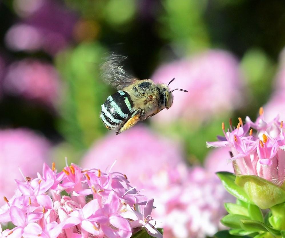 Photo by Ross Harper - bee flying around wildflowers